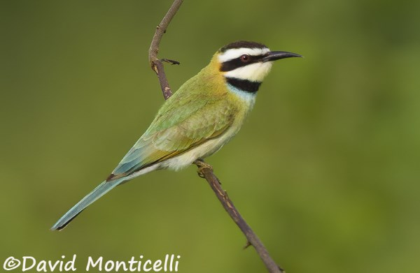 White_throated_Bee_eater_Sierra_Leone