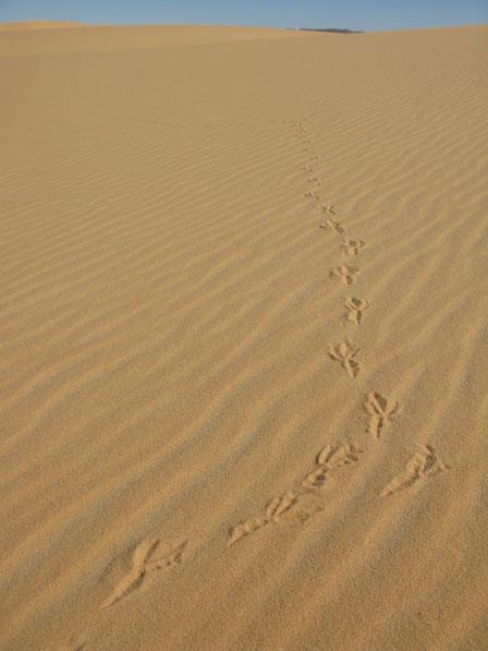 Bird_prints_in_the_desert_Libya