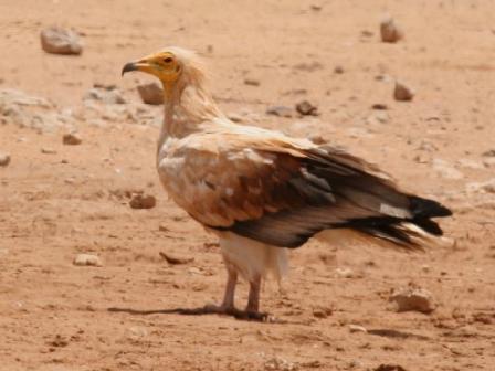Egyptian_Vulture