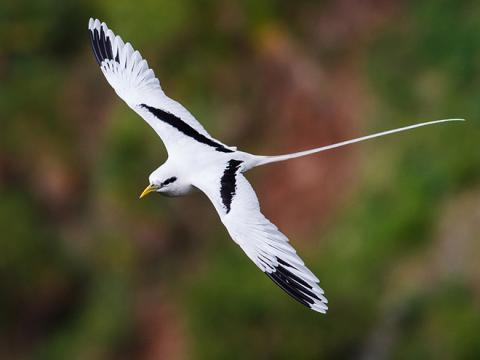 White_tailed_Tropicbird