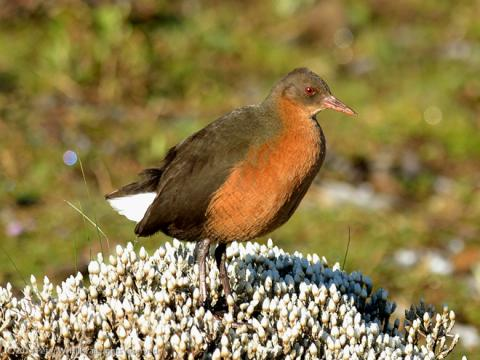 Rouget's_Rail