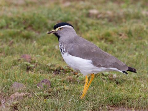 Spot_breasted_Lapwing