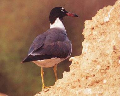 White_eyed_Gull_Eritrea