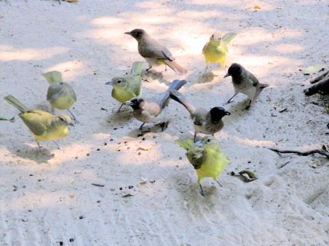 Yellow-bellied Greenbuls with Dark-capped Bulbuls