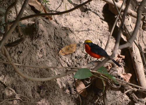 Yellow-crowned Gonolek - February 2011 - Tabou, Mali