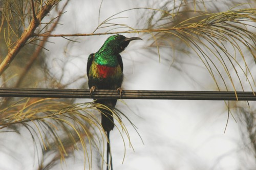 Beautiful Sunbird - January 2011 - Bamako, Mali