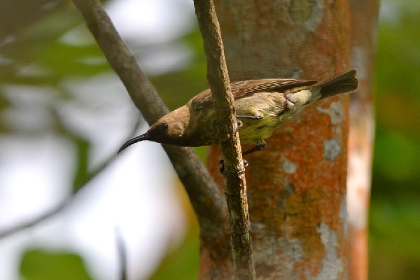 Buff-throated Sunbird
