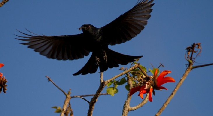 Fork-tailed Drongo in flight