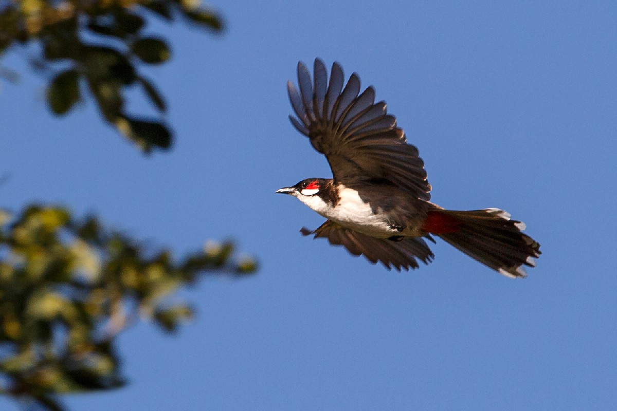 Red-whiskered Bulbul in flight