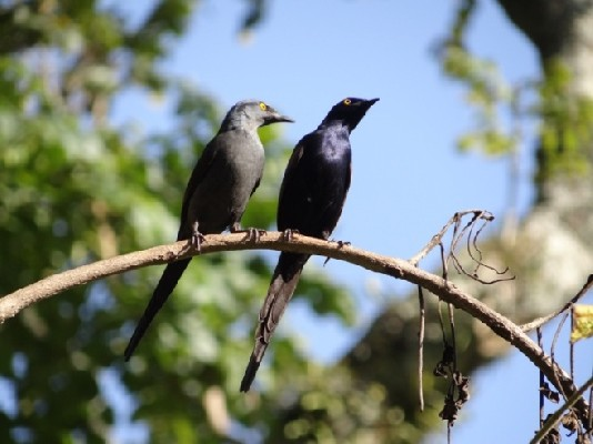 Narrow-tailed Starling