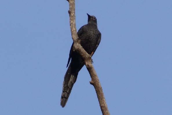 Slender-billed Starling