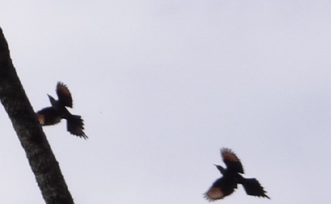 Slender-billed Starlings flying