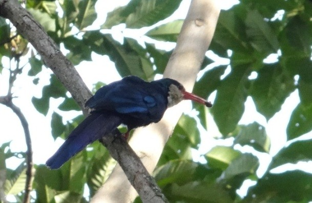 White-headed Wood-hoopoe feeding
