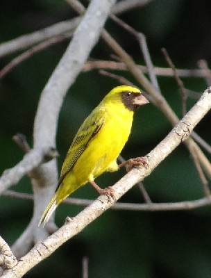 Black-faced Canary singing