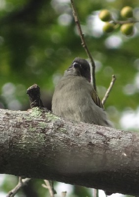 probable Thick-billed Honeyguide
