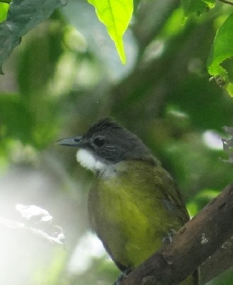 White-bearded Greenbul