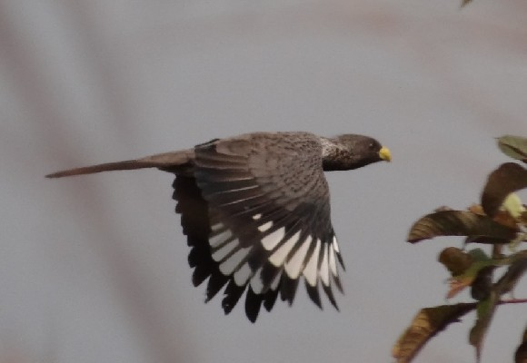 Western Grey Plantain-eater in flight