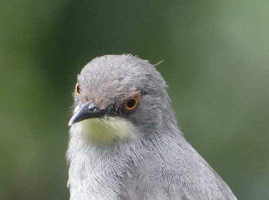 Close up, Gosling's Apalis