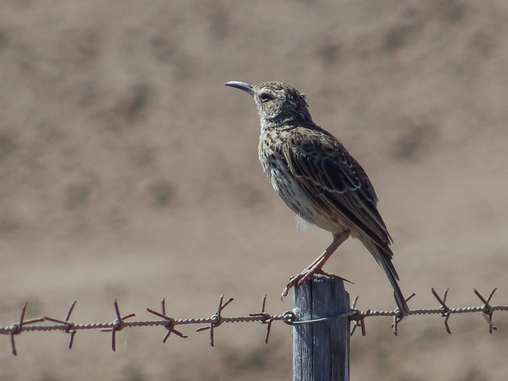 Cape Long-billed Lark
