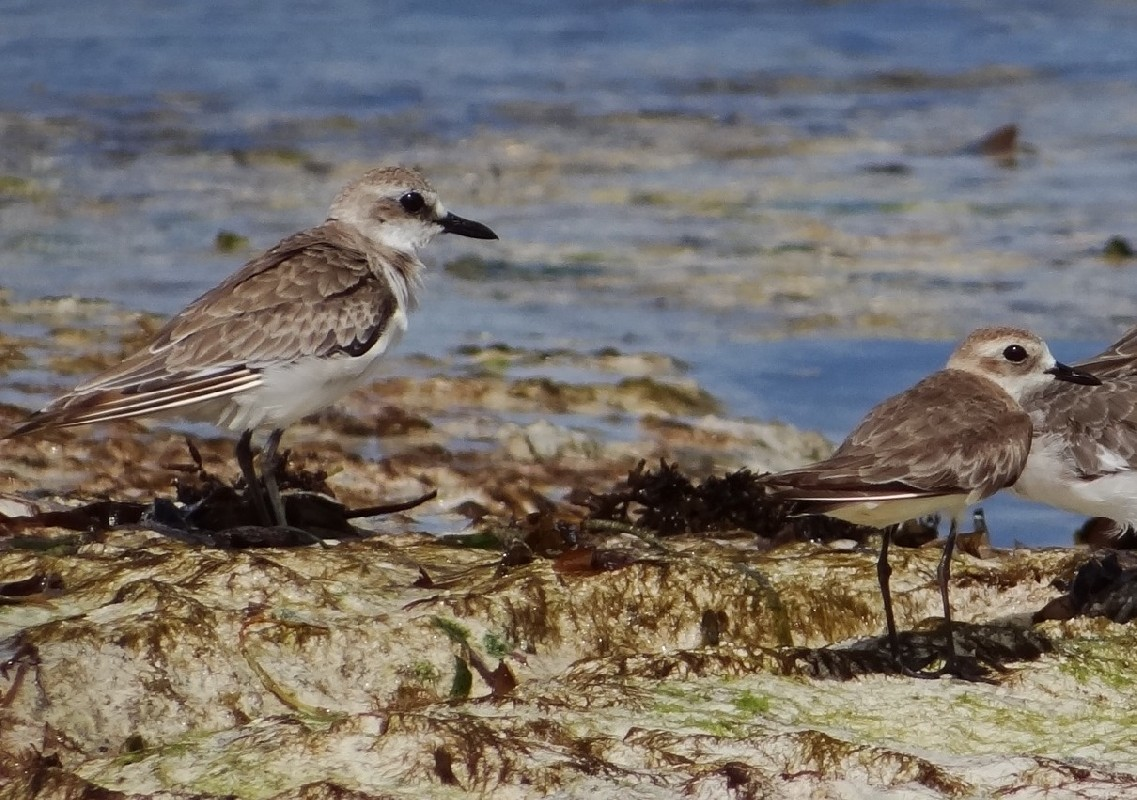 Greater and Lesser Sand plovers