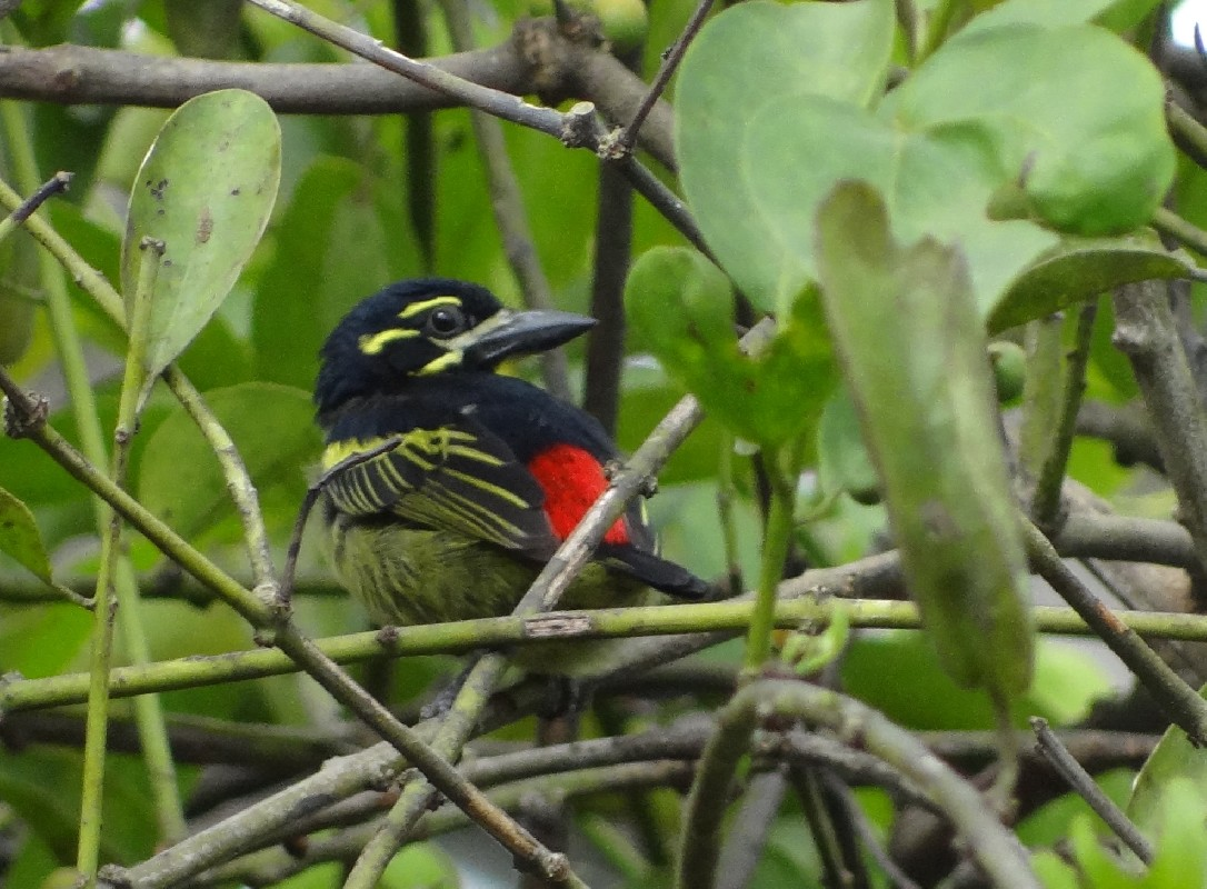 Red-rumped Tinkerbird