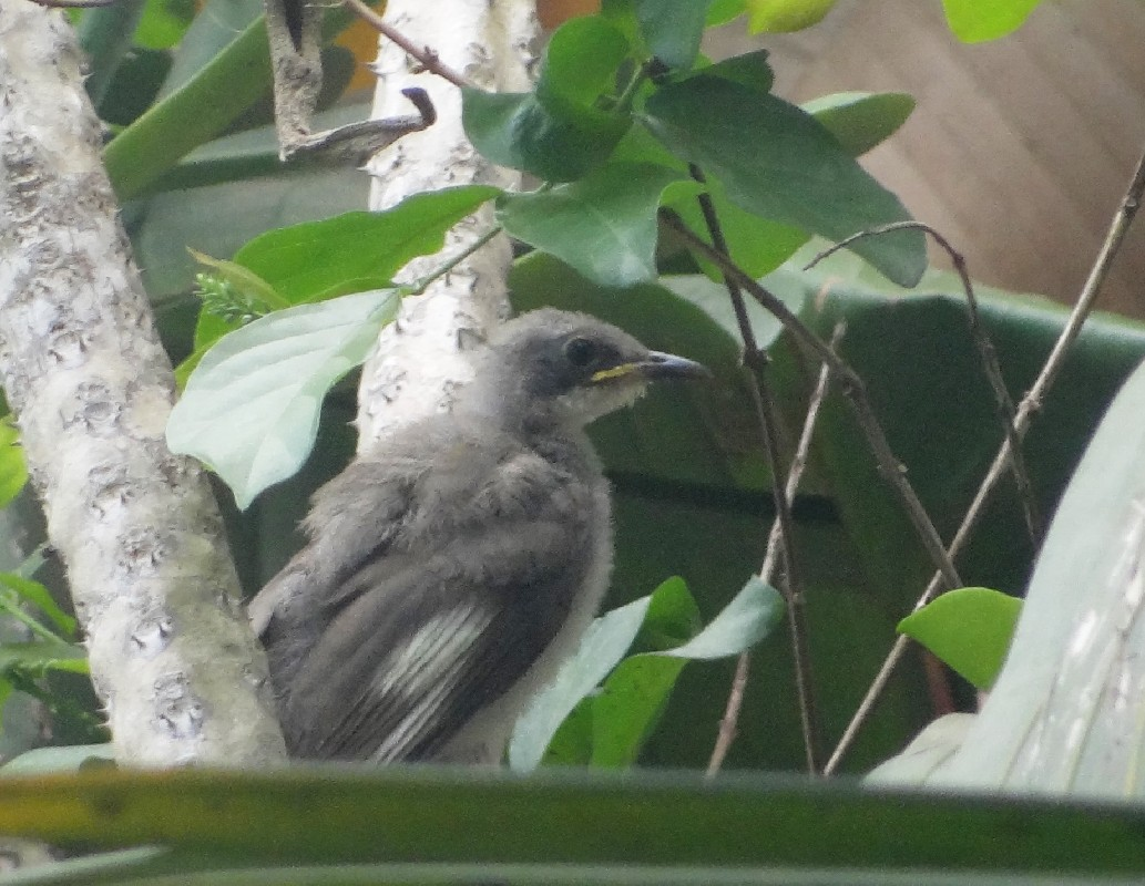 Fledgling Yellow-throated leaf-love ssp soror