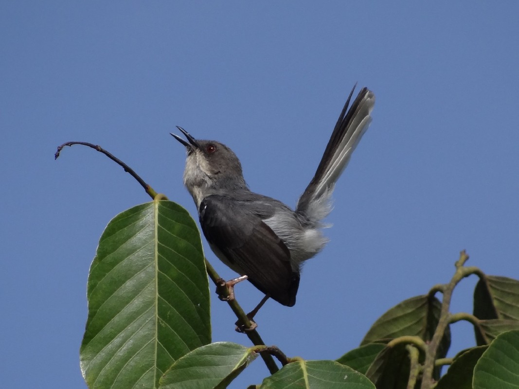 Grey Apalis, singing