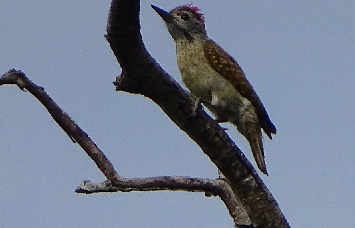 Speckle-breasted Woodpecker