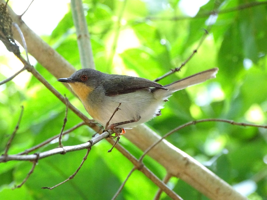 Female Buff-throated Apalis