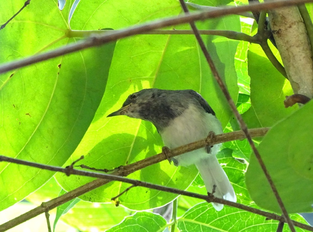 Male Buff-throated Apalis