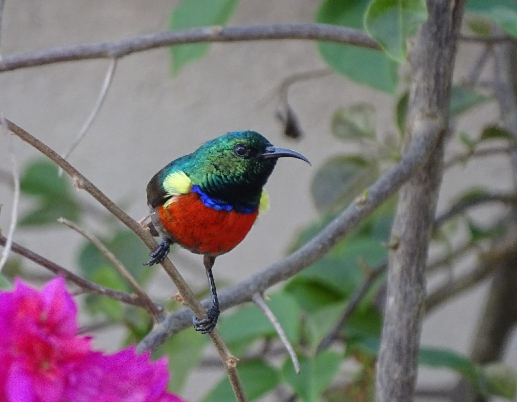 Male Northern Double-collared Sunbird