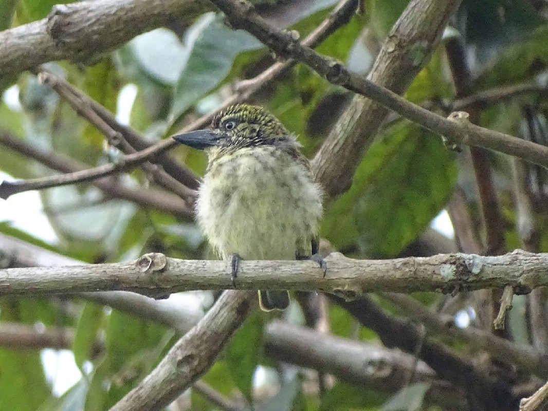 Speckled Tinkerbird