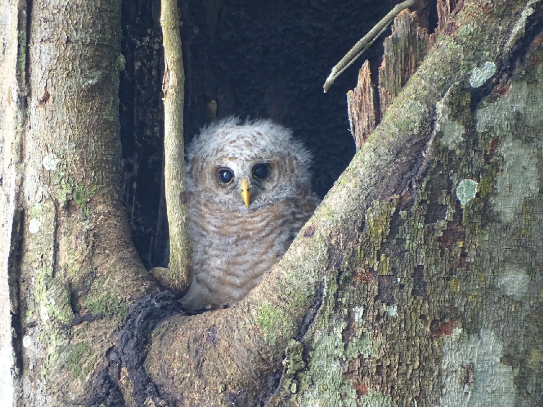 Young African Wood Owl ready to leave nest