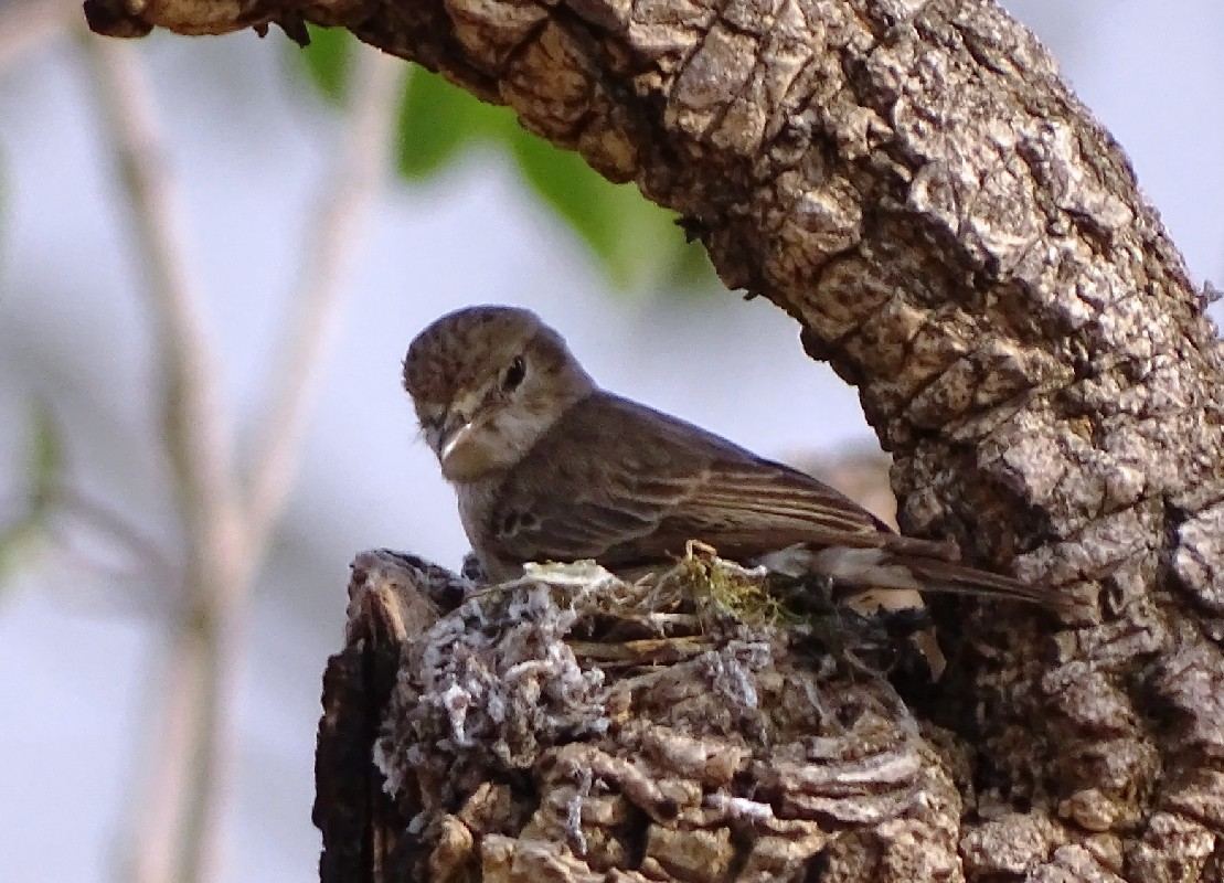 Gambaga Flycatcher on nest