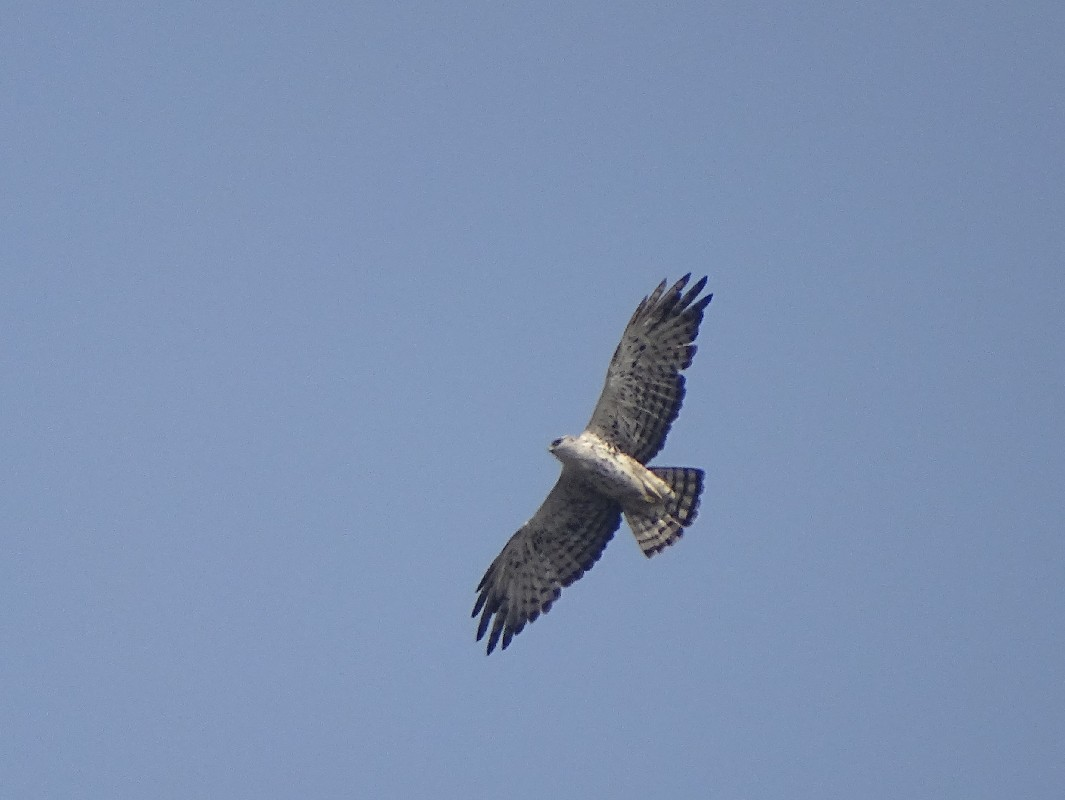 Ayres's Hawk-Eagle
