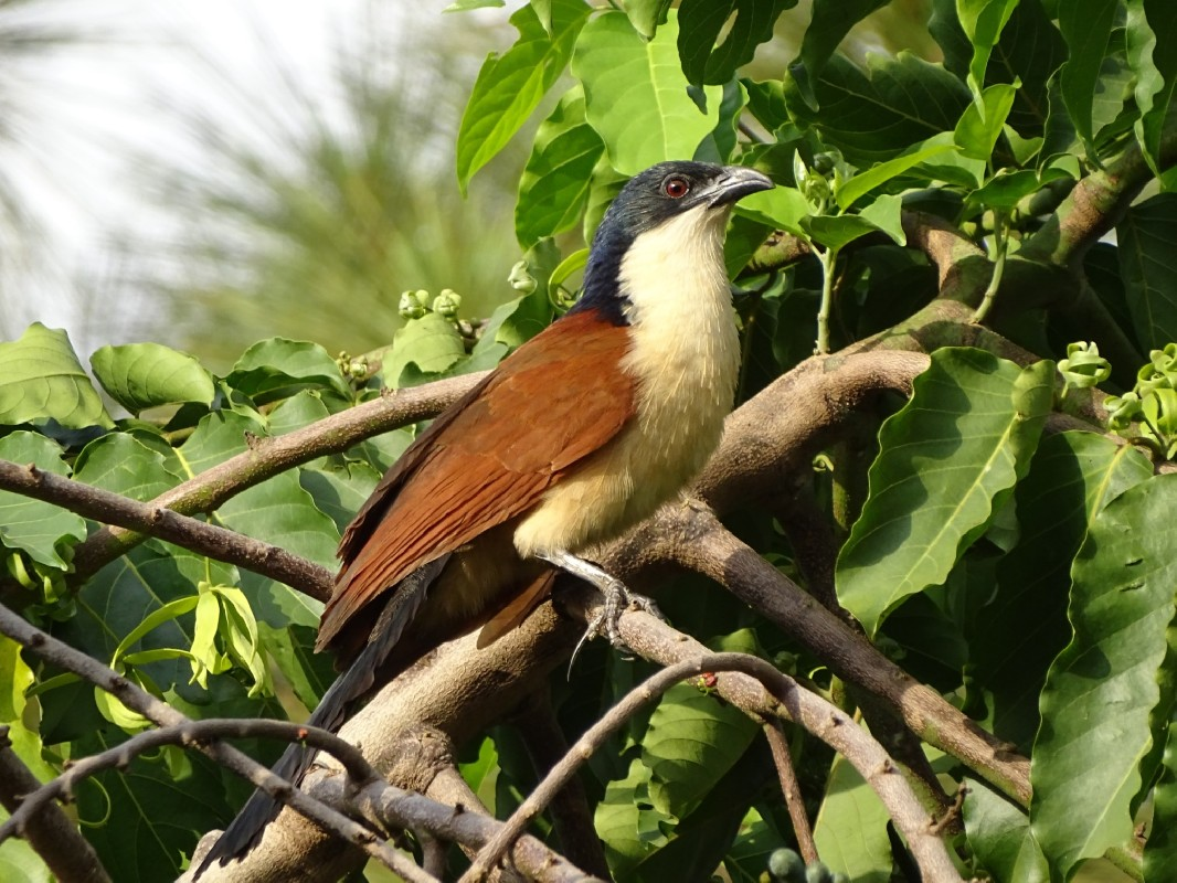 Blued-headed Coucal