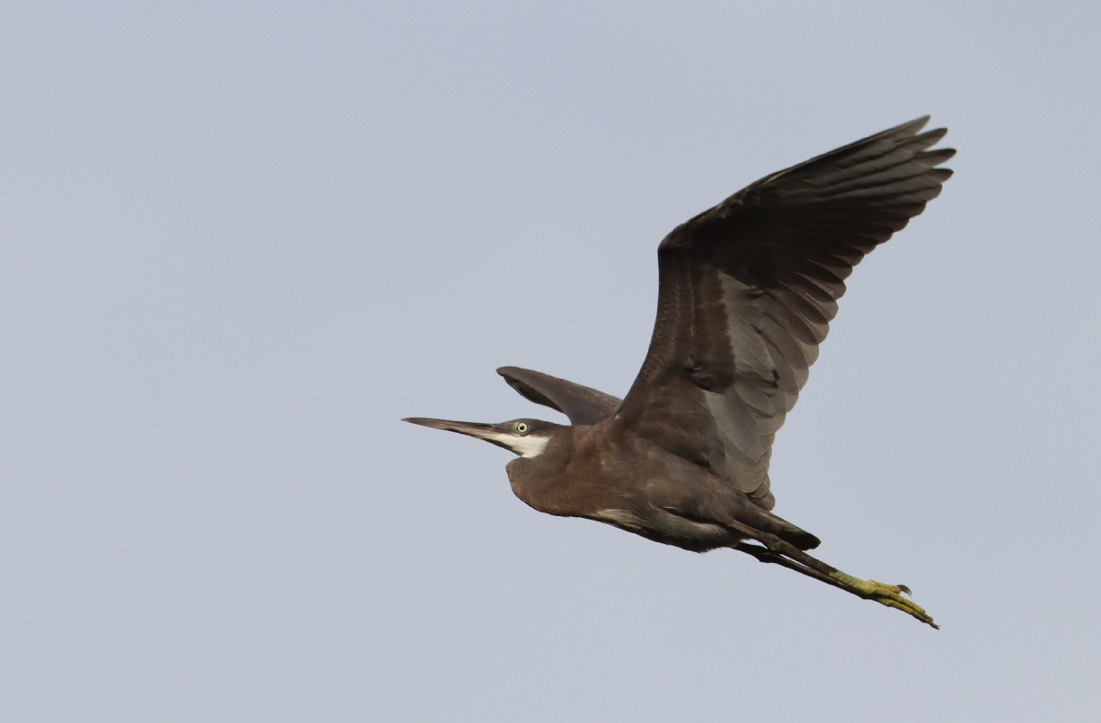 Western Reef Egret (nominate)