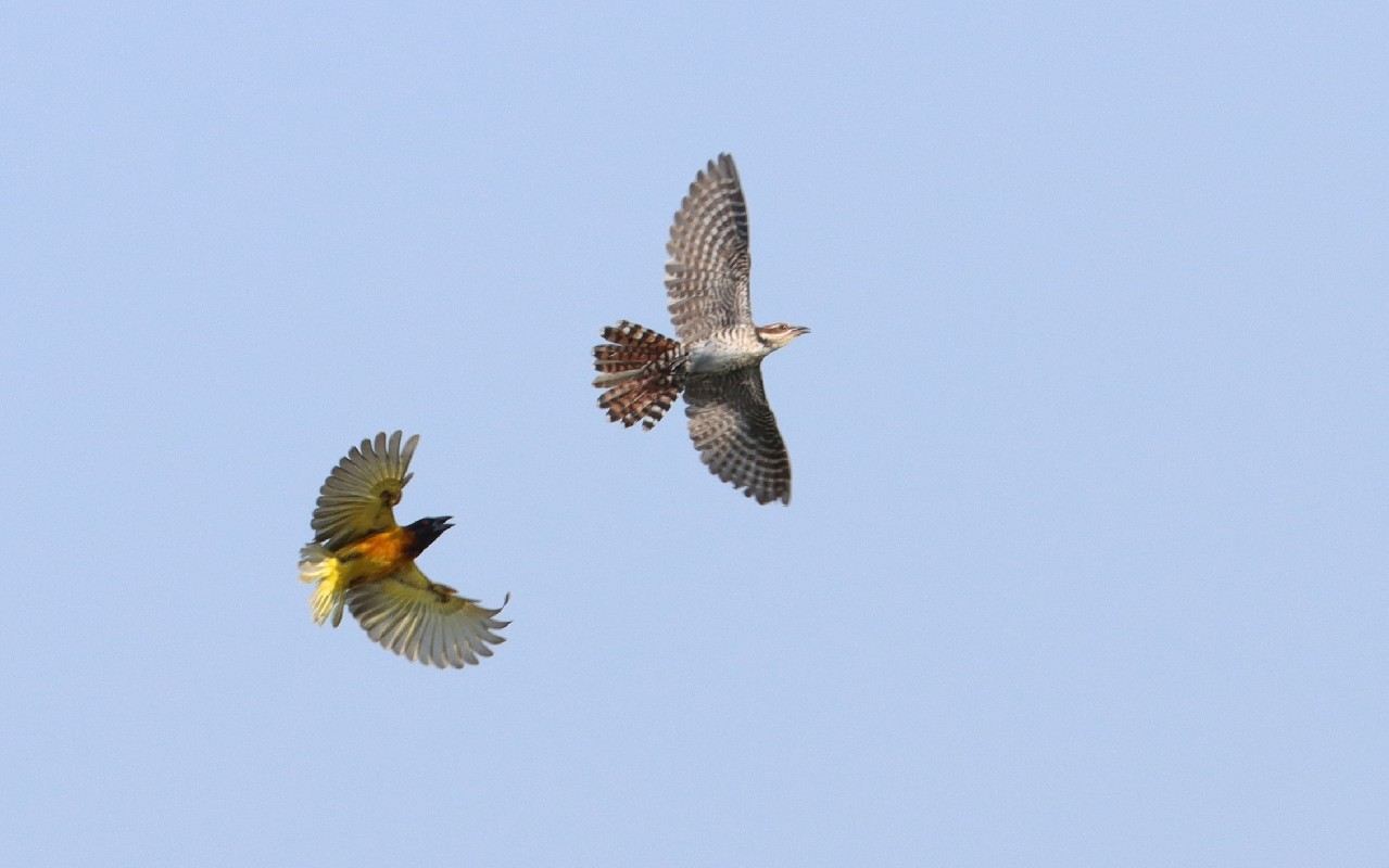 Village Weaver vs Diederik Cuckoo