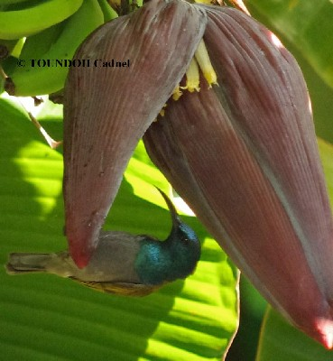 Green-headed Sunbird - Cyanomitra verticalis