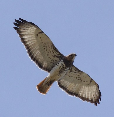 Red-necked Buzzard, Buteo auguralis