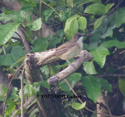 Simple Greenbul >> Chlorocichla simplex