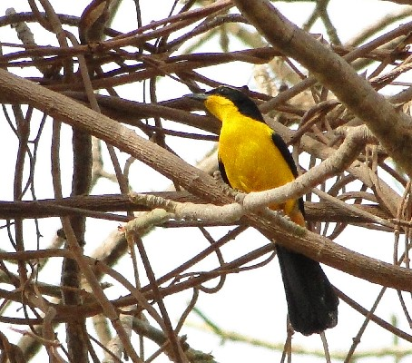 Yellow-crowned Gonolek - yellow morph