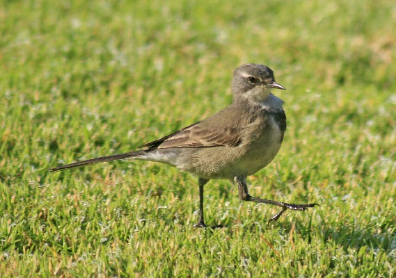 Cape Wagtail on parade