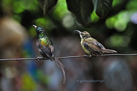 Bronzy Male & Female Sunbirds Perched on a wire line