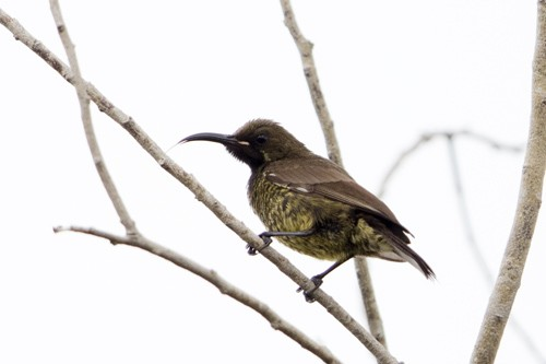 Scarlet-chested Sunbird - immature