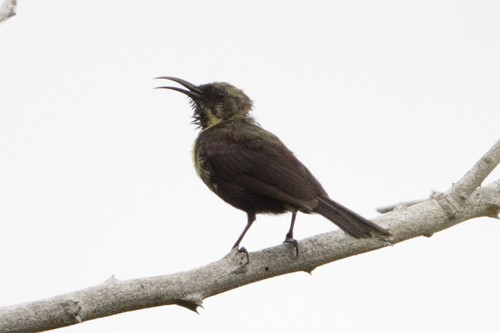 Scarlet-chested Sunbird - immature singing