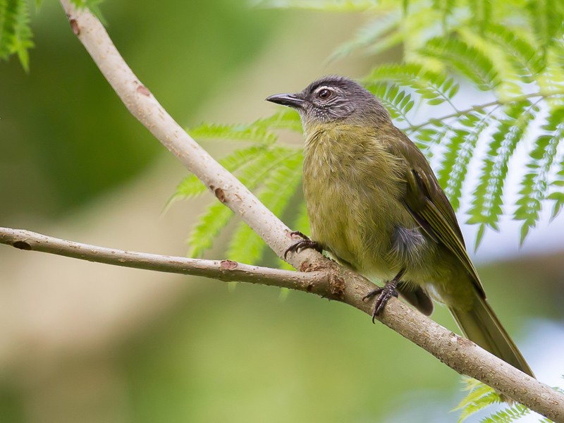 Stripe-cheeked Greenbul