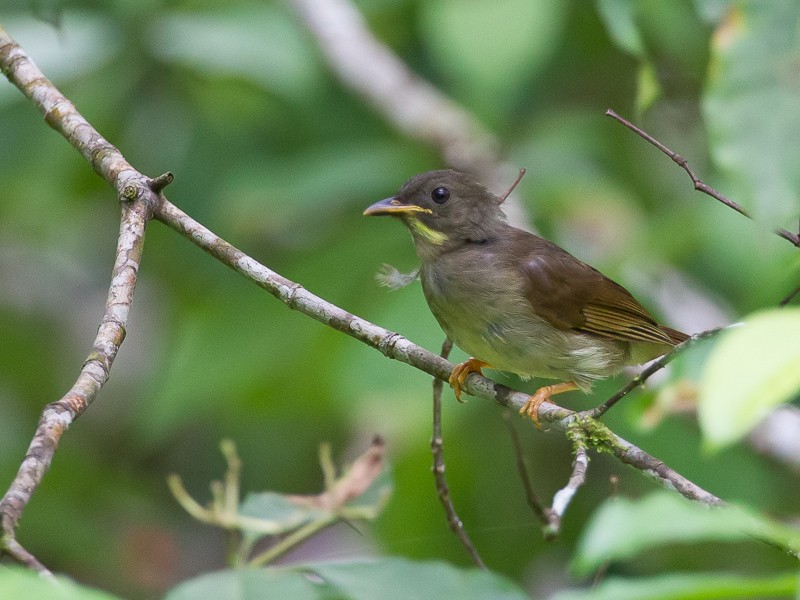 Yellow-whiskered Greenbul