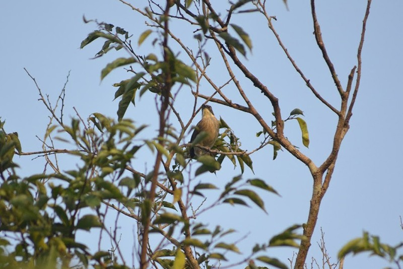 Simple Greenbul