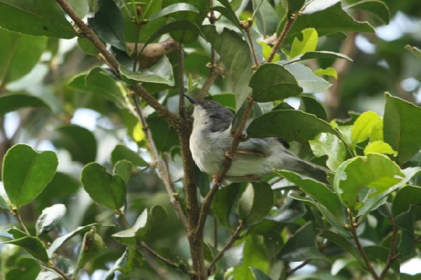 Black-headed Apalis